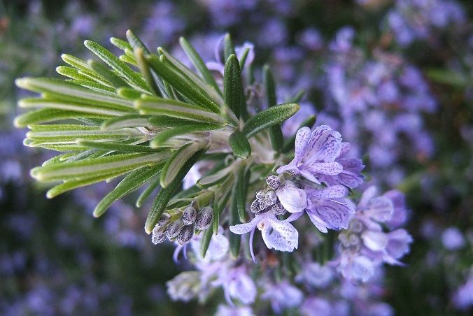 romero-flor-Rosmarinus_officinalis-