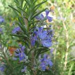 romero-flor-Rosmarinus_officinalis
