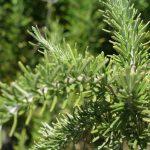 rosmarinus-officinalis-romero-efectos-adversos
