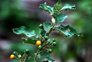 Solanum-xanthocarpum