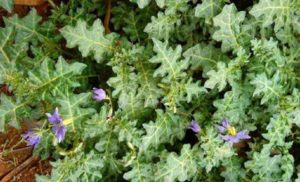 Prometedoras propiedades antioxidantes y anticancerígenas en la fruta de Solanum xanthocarpum