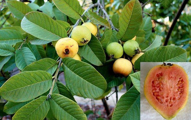 guayaba-hojas-fruta