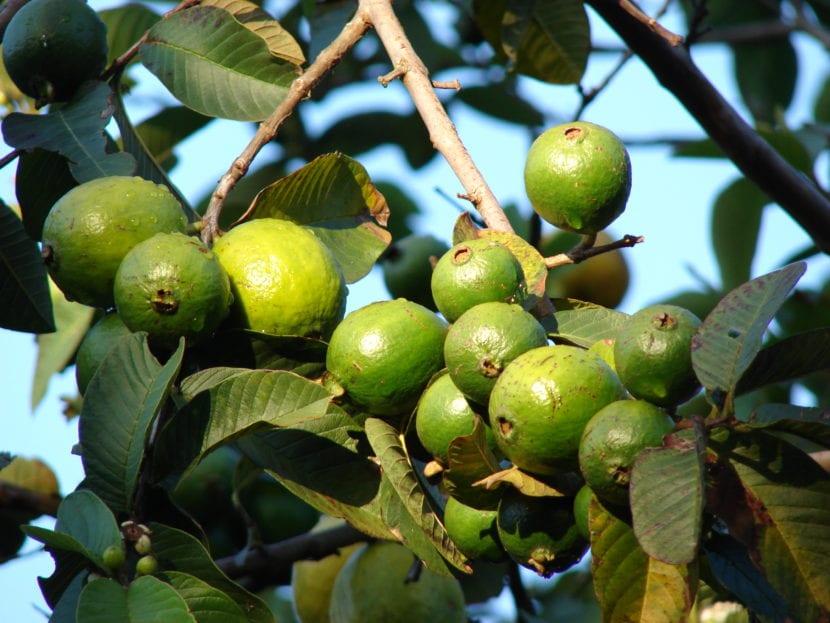 guayaba hojas y frutos
