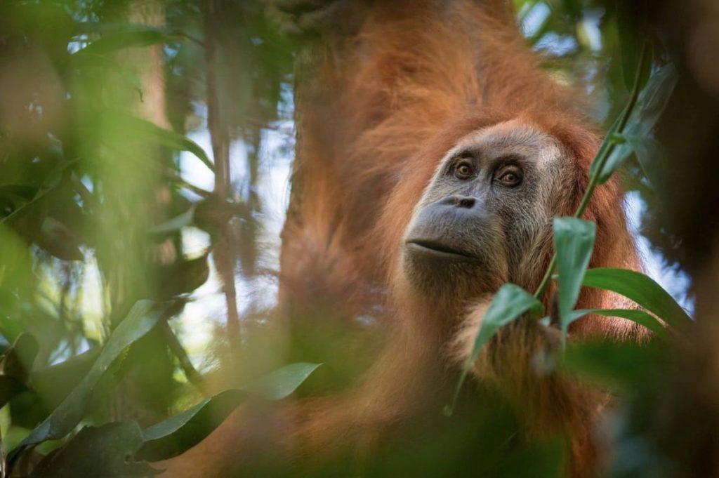 -orangutan-plantas