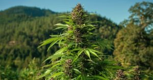 Cannabis-cogollo-marihuana-montaña