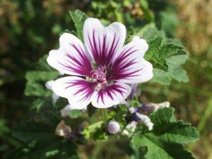 flor malvavisco