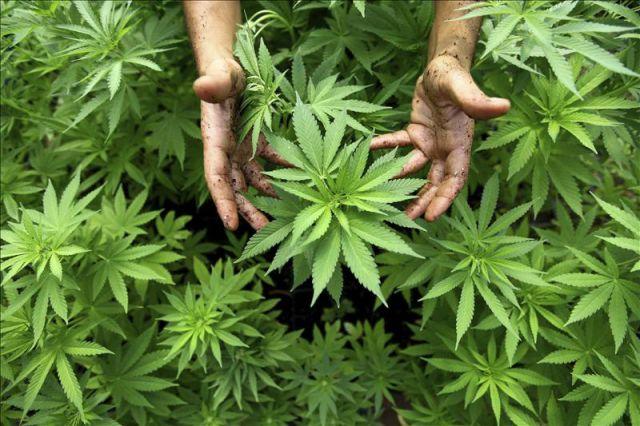hojas marihuana