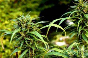 marihuana-cannabis-cogollos-