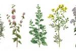 Fichas Plantas Medicinales