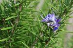 Principales plantas medicinales colagogas